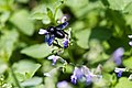 Carpenter-mimic leafcutter bee (36634012650).jpg