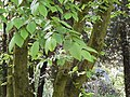 Carpino bianco - Carpinus betulus.jpg