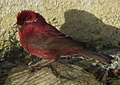 Carpodacus formosanus (cropped).jpg