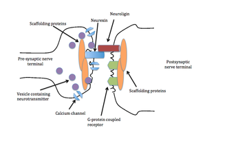 Neurexin - The trans-synaptic dialog between neurexin and neuroligin organizes the apposition of pre- and post-synaptic machinery by recruiting scaffolding proteins and other synaptic elements such as NMDA receptors, CASK, and synaptotagmin, all of which are necessary for a synapse to exist.