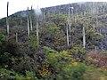 Caryophyllales - Neobuxbaumia tetetzo - 4.jpg