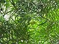 Cascabela thevetia cv. alba-3-bangalore-India.jpg
