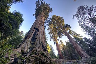 Three Rivers, California - Giant Sequoia grove on Case Mountain, SE of Three Rivers.