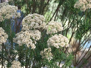 <i>Cassinia aculeata</i> Species of plant