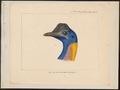 Casuarius papuanus - 1875 - Print - Iconographia Zoologica - Special Collections University of Amsterdam - UBA01 IZ18900071.tif