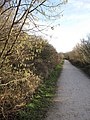 Catkins by the Wirral Way - geograph.org.uk - 1140647.jpg