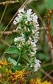 Catnip (Nepeta cataria) - Flickr - wackybadger (2).jpg