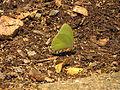 Catopsilia pomona (15670201360).jpg