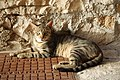 Cats in the city of Korcula - panoramio.jpg