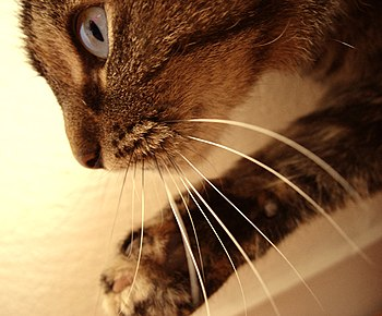 English: Cats Whiskers
