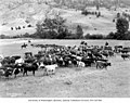 Cattle round-up near Loomis, September 1920 (LL 1022).jpg