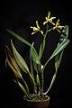 Cattleya xanthina (Lindl.) Van den Berg, Neodiversity 3 12 (2008) (41459181150).jpg