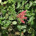 Cavendishia complectens Costa Rica.jpg
