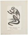 Cebus monachus - 1809-1845 - Print - Iconographia Zoologica - Special Collections University of Amsterdam - UBA01 IZ20200182.tif