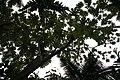 Cecropia peltata 3zz.jpg