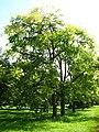 Cedrela sinensis.jpg
