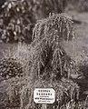 Cedrus Deodara 1911 by Emmeline Pankhurst.jpg