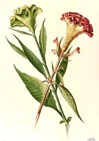 Celosia cristata Blanco detail