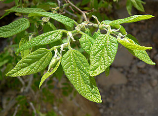<i>Celtis reticulata</i> species of plant