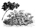 Cerfeuil frisé Vilmorin-Andrieux 1883.png