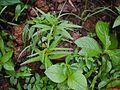 Ceropegia concanensis (9525397564).jpg