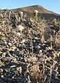 Chaenactis carphoclinia var carphoclinia 13.jpg