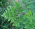 Chaerophyllum bulbosum3 W.jpg