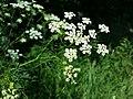 Chaerophyllum bulbosum sl25.jpg