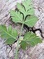 Chaerophyllum temulum leaf (24).jpg