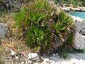 Chamaerops humilis01.jpg