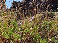 Cheirolophus teydis Tenerife 1.jpg