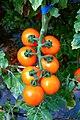 Cherry tomatoes by WorldVeg.jpg