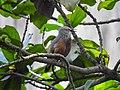 Chestnut-tailed starling 03.jpg