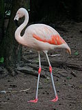 Chileflamingo 2010.JPG