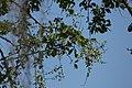 Chiminango (Pithecellobium dulce) (14409994331).jpg