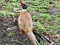 Chinese Ring Necked Pheasant (5294325008).jpg