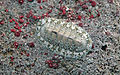 Chiton tuberculatus (West Indian green chiton) (San Salvador Island, Bahamas) 2 (15511363564).jpg