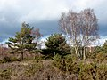 Chobham Common - geograph.org.uk - 1717917.jpg