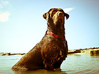 Chocolate Labrador at beach.jpg