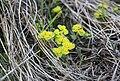 Chrysosplenium alternifolium Lepiklill estonia.JPG
