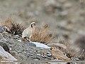 Chukar Partridge (Alectoris chukar) (46900214964).jpg