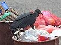 Chulo en un balde de basura 2.jpeg