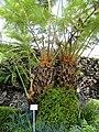 Cibotium barometz - Botanischer Garten München-Nymphenburg - DSC08046.JPG