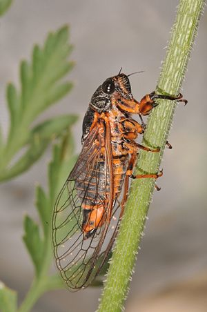 Cicadetta montana - Image: Cicadetta montana Croatia