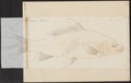 Cirrhina leschenaultii - 1774-1804 - Print - Iconographia Zoologica - Special Collections University of Amsterdam - UBA01 IZ15000071.tif