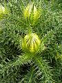 Cirsium spinosissimum Zermatt.jpg