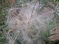 Cirsium vulgare, pappus, speerdistel (2).jpg