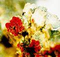 Cladonia cristatella f. (3).jpg