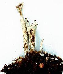 Dutohlávka prstnatá (Cladonia digitata)