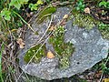 Cladonia fimbriata 10407559.jpg